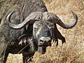 African Buffalo Syncerus caffer in Tanzania 3604 Nevit.jpg