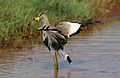 African Wattled Lapwing or Senegal Wattled Plover, Vanellus senegallus at Krugersdorp Game Reserve, Gauteng, South Africa (31540504616).jpg