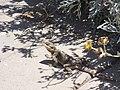 Agama stellio (lizard)5.jpg