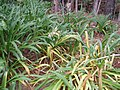 Agapanthus praecox orientalis Willd. (AM AK311991-1).jpg
