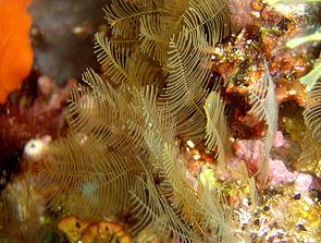 Aglaphenoia sp. in der Adria