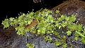 Agonandra silvatica Ducke (12545345545).jpg