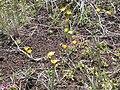 Agoseris glauca laciniata (4424788048).jpg
