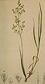 Agrostis alpina.JPG