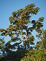 Ailanthus altissima 20180814a.jpg