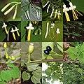 Alangium platanifolium var. trilobatum (Montage s3).jpg