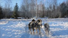 Datei:Alaskan Huskies - Sled Dogs - Ivalo 2013.ogv