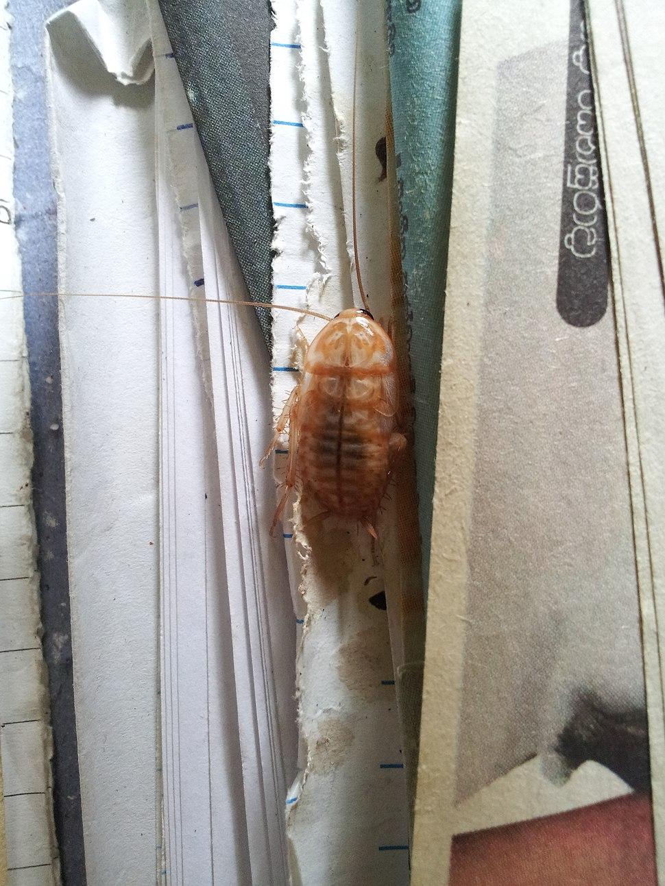 Albino cockroach from bakamuna, Sri Lanka