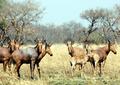 Alcelaphus buselaphus herd.png