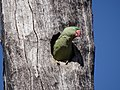 Alexandrine Parakeet - Psittacula eupatria DSC05142.jpg