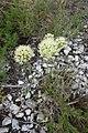 Allium albidum 10.jpg