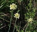 Allium condensatum 99759077.jpg