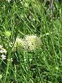 Allium ericetorum (20429069548).jpg