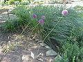 Allium giganteum2.jpg