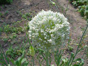 Taxonomy of Allium - Image: Allium sativum 02