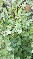 Alnus viridis 01.jpg