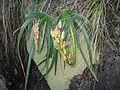 Aloe inyangensis - Capsules - Gurungue (10312901815).jpg