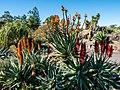 Aloe spp in Arid Zone garden Brisbane Botanic Gardens Mt Coot-tha L1020578.jpg