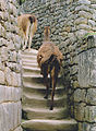 Alpaca's walking on stairs Machu picchu Peru.jpg