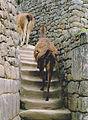 Alpaca's walking on stairs Machu picchu Peru.jpg
