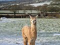 Alpaca in the snow - geograph.org.uk - 675671.jpg