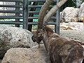Alpine Ibex (9110093801).jpg