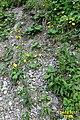 Alpine flora (Mit) (24044506568).jpg