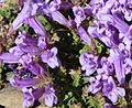 Alpine penstemon Penstemon davidsonii flowers close.jpg