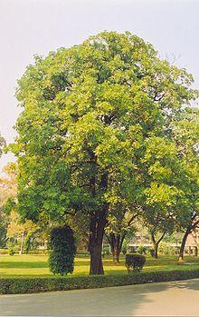 चितौन (Alstonia scholaris)
