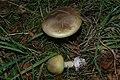 Amanita phalloides (7).JPG