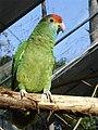 Amazona rhodocorytha -RSCF-8.jpg