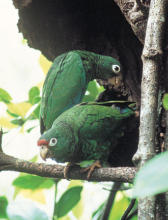 Puerto Rican amazon - A pair of Puerto Rican amazons which usually mate for life
