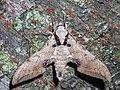 Ambulyx kuangtungensis (14950074020).jpg