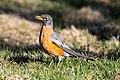 American Robin (Turdus migratorius) (19730335573).jpg