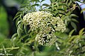 American elderberry (Sambucus canadensis) (37257156270).jpg