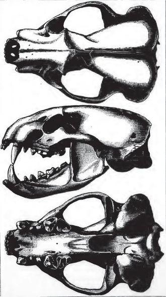 American badger - American Badger Skull