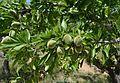 Ametlles a l'arbre, Canor (Benissa).jpg