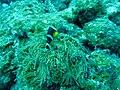 Amphiprion chrysogaster 01.jpg