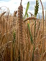 An ear of barley - geograph.org.uk - 875722.jpg
