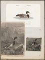 Anas boschas - 1700-1880 - Print - Iconographia Zoologica - Special Collections University of Amsterdam - UBA01 IZ17600367.tif