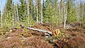 And Once Again in the Forest - panoramio.jpg