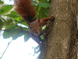 Andean Squirrel Cartagena Colombia - 12-23-15.JPG