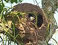 Andorinha-de-testa-branca (Tachycineta leucorrhoa) usando um ninho abandonado de forneira (Furnarius rufus).jpg