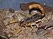 Androctonus australis qtl1.jpg
