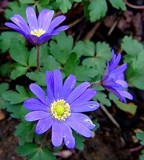 <i>Anemone blanda</i> species of plant