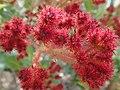 Angophora hispida Buds 44670772685 d40aeff6c8 o.jpg