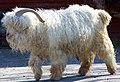 Angora Goat (capra hircus).jpg