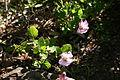 Anisodontea scabrosa (Malvaceae) 1 (2934498864).jpg