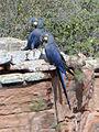 Anodorhynchus leari (3 cropped).jpg