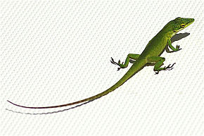 Description de l'image Anolis smaragdinus.jpg.
